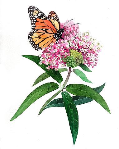 Monarch and Swamp Milkweed Websize.jpg