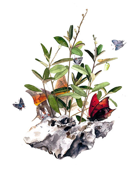 Pineland Croton with Florda Leafwin an Bartram's Haistreak Butterfly watercolor painting by Kim Heise