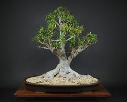 DaveNadzam-FicusSalicaria