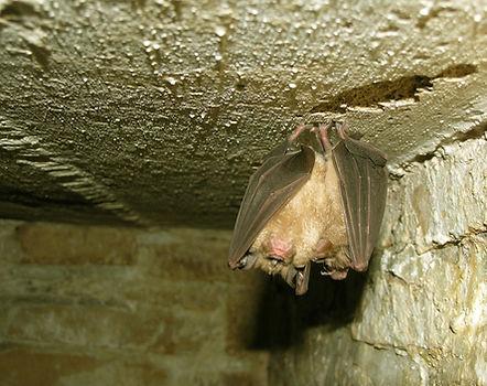 Greater horseshoe bats