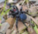 Mouse Spider.jpg