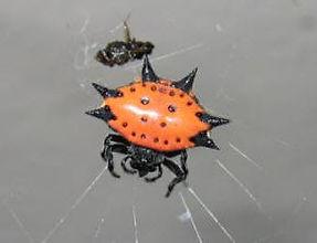 Jewelled Spider.jpg