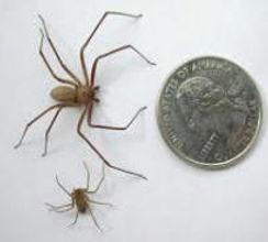 Violin Spider Hoax.jpg