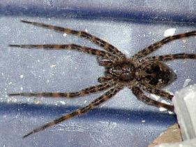 Fishing Spider.jpg