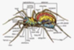 Spider Anatomy.jpg