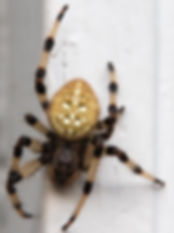Shamrock Spider.jpg