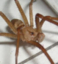 Male Southern House Spider no violin