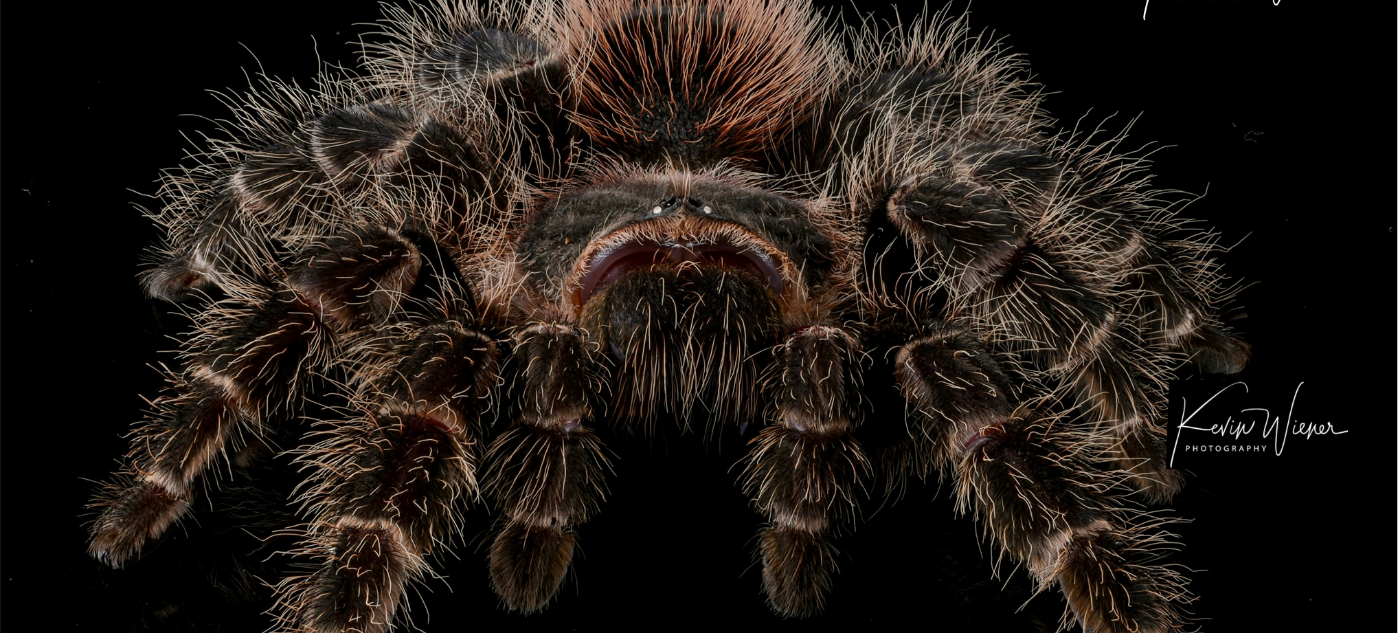 Brazilian Red Birdeater Tarantula (L
