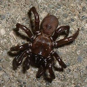 Purse Web Spider
