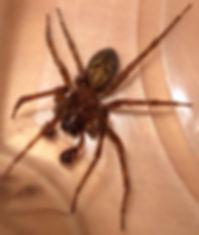 MaleHobo Spider