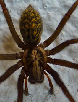 Giant house spider pattern