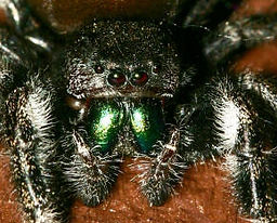 Daring Jumping Spider.jpg