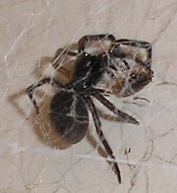 Black House spider with prey