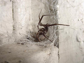 Southern House Spider.jpg