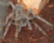 Another tarantula.jpg