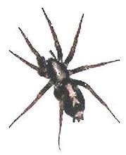 Parson Spider.jpg
