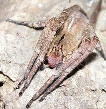 Brazilian Wandering Spider.jpg
