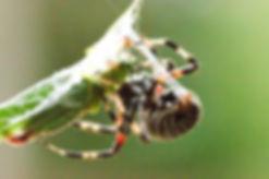 Garden Orb Weaver with prey.jpg