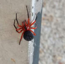 Red and Black Spider 2.jpg