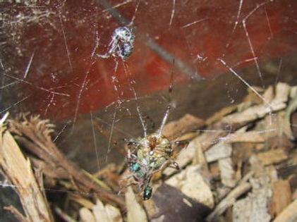Brown House Spider 2001