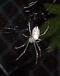 Silver Orb Spider.jpg