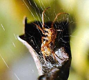 Leaf Curling Spider in web