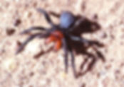 Red Headed Mouse Spider.jpg