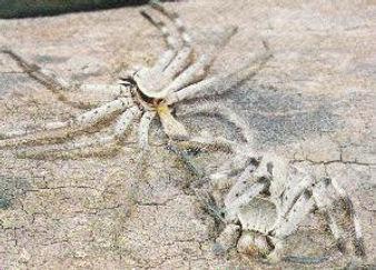 Huntsman spider moulting