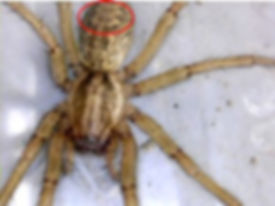 Zigzag pattern on a hobo spider