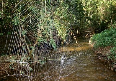 Darwin's Bark Spider web