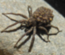 Female Wold Spider with spiderlings