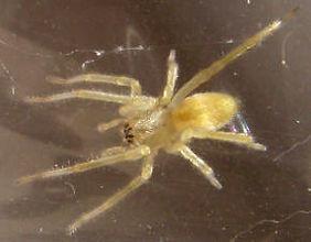 Yellow Sac Spider.jpg