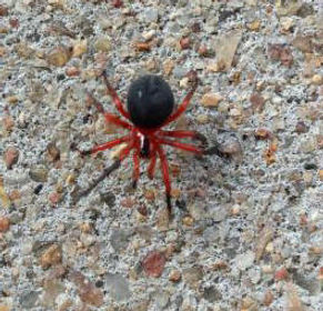 Red and Black Spider 1.jpg