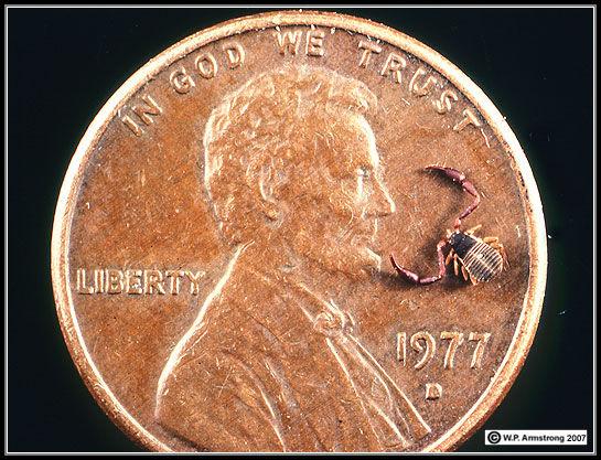 Pseudoscorpion on a US penny