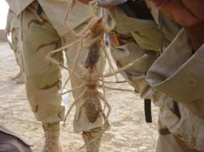 Camel Spider.jpg