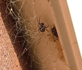 False Widow web