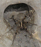 Funnel web.jpg