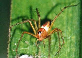 lynx spider 1.jpg