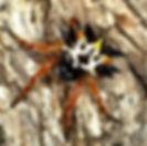 Jewel Spider.jpg