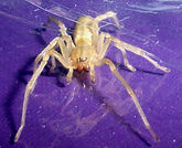 Yellow Sac Spider from siding purple bac