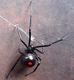 Black Widow Spider.jpg