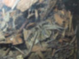 Wolf Spider 2001