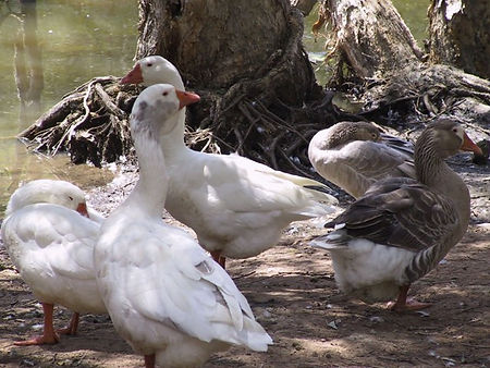 Some of the ducks at Underwood Park lagoon