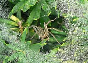 Spider in web on plants.jpg