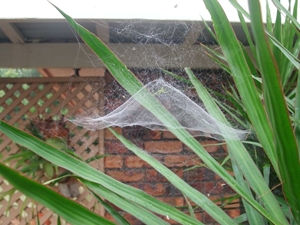 Tent Spider Web