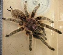 Urticating hairs on a tarantula.jpg