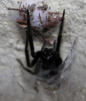 Another Black House Spider