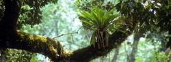 Epiphytes are abundant in Belize