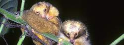 Silky Anteaters