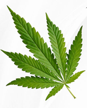 Cannabis-leafs-4x-hybrid-ruderalis-indic